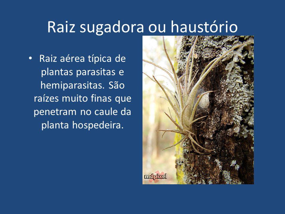 Raiz sugadora ou haustório Raiz aérea típica de plantas parasitas e hemiparasitas. São raízes muito finas que penetram no caule da planta hospedeira.