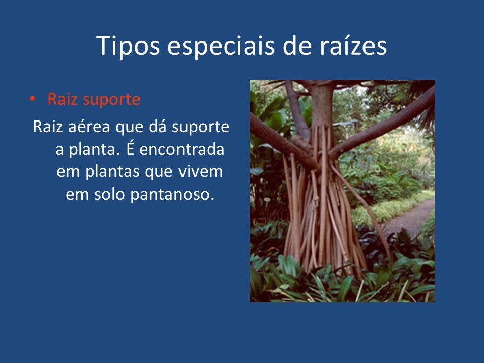 Tipos especiais de raízes Raiz suporte Raiz aérea que dá suporte a planta. É encontrada em plantas que vivem em solo pantanoso.