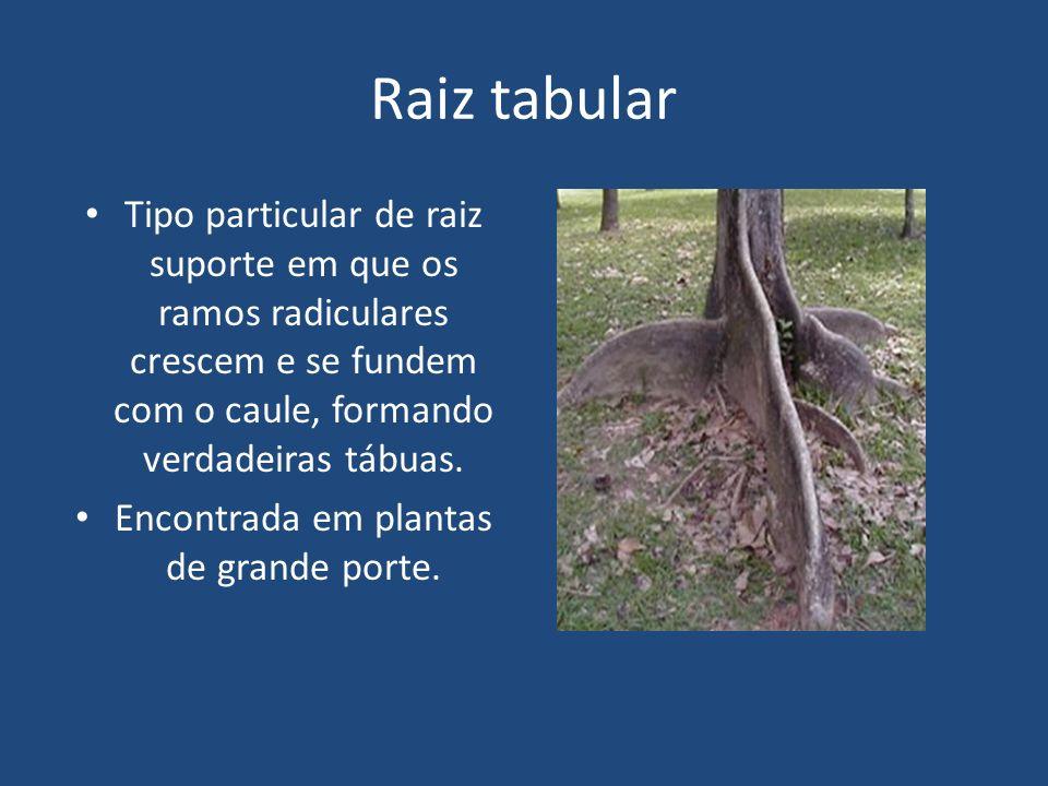 Raiz tabular Tipo particular de raiz suporte em que os ramos radiculares crescem e se fundem com o caule, formando verdadeiras tábuas. Encontrada em p