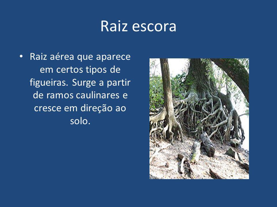 Raiz escora Raiz aérea que aparece em certos tipos de figueiras. Surge a partir de ramos caulinares e cresce em direção ao solo.