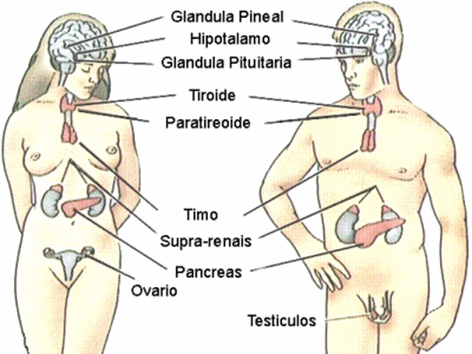 Principais glândulas endócrinas: Hipófise (8 hormônios) Situada cavidade óssea, abaixo do hipotálamo Tireóide (3 hormônios) Situada na parte anterior do pescoço, abaixo da laringe Paratireóide (1 hormônio) Situada atrás da tireóide (muito pequena)
