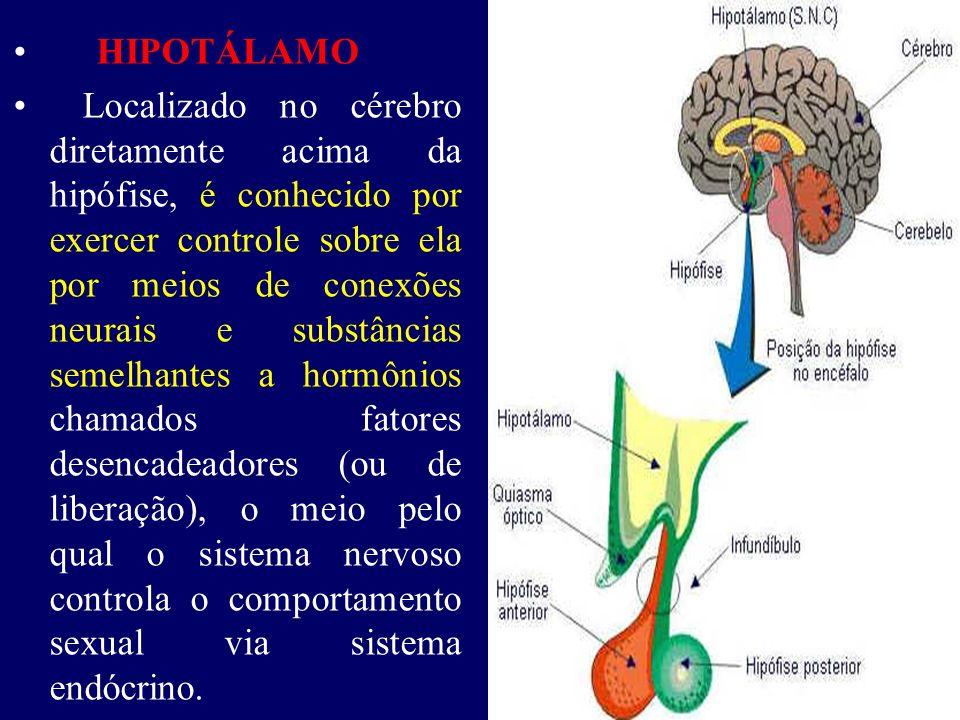 HIPOTÁLAMO Localizado no cérebro diretamente acima da hipófise, é conhecido por exercer controle sobre ela por meios de conexões neurais e substâncias