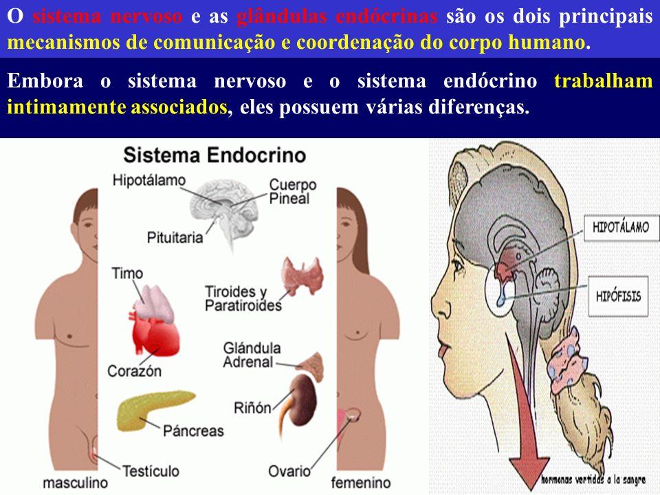 As principais glândulas endócrinas em humanos Hipotálamo Hipófise Tireóide Paratireóides Adrenais Pâncreas Gônadas femininas (ovários) masculinas (testículos)