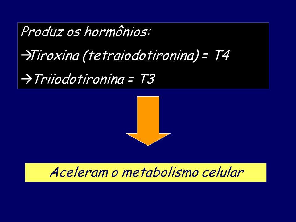 Produz os hormônios: Tiroxina (tetraiodotironina) = T4 Triiodotironina = T3 Aceleram o metabolismo celular