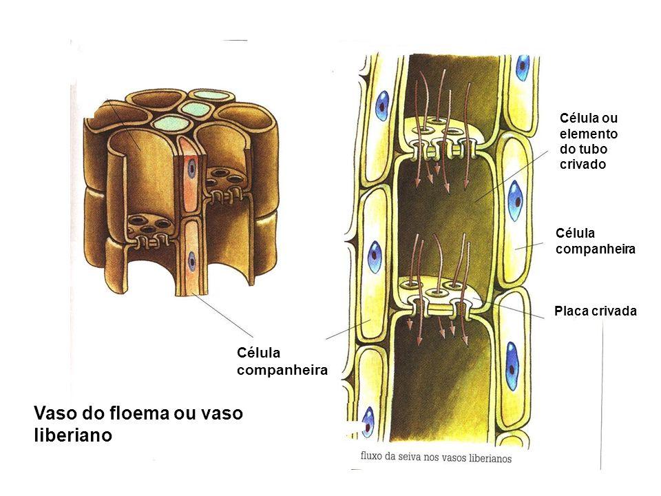 Célula companheira Célula companheira Célula ou elemento do tubo crivado Placa crivada Vaso do floema ou vaso liberiano