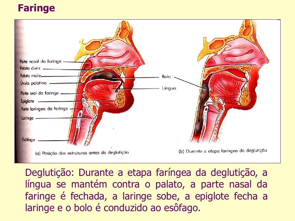 Deglutição: Durante a etapa faríngea da deglutição, a língua se mantém contra o palato, a parte nasal da faringe é fechada, a laringe sobe, a epiglote fecha a laringe e o bolo é conduzido ao esôfago.