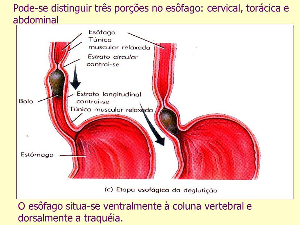 O esôfago situa-se ventralmente à coluna vertebral e dorsalmente a traquéia.