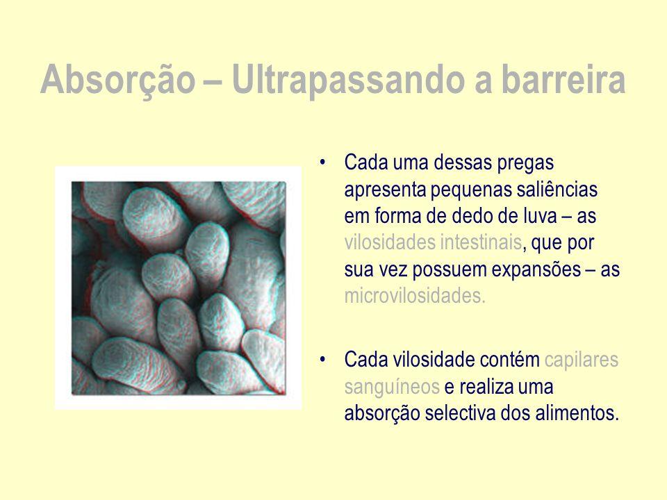 Absorção – Ultrapassando a barreira Cada uma dessas pregas apresenta pequenas saliências em forma de dedo de luva – as vilosidades intestinais, que por sua vez possuem expansões – as microvilosidades.
