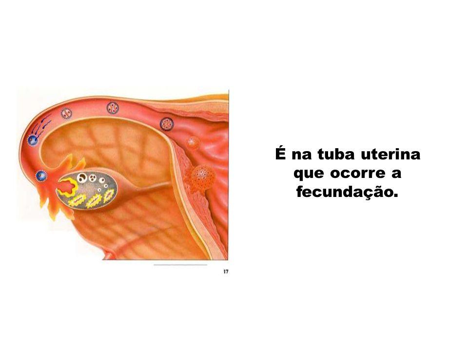 É na tuba uterina que ocorre a fecundação.