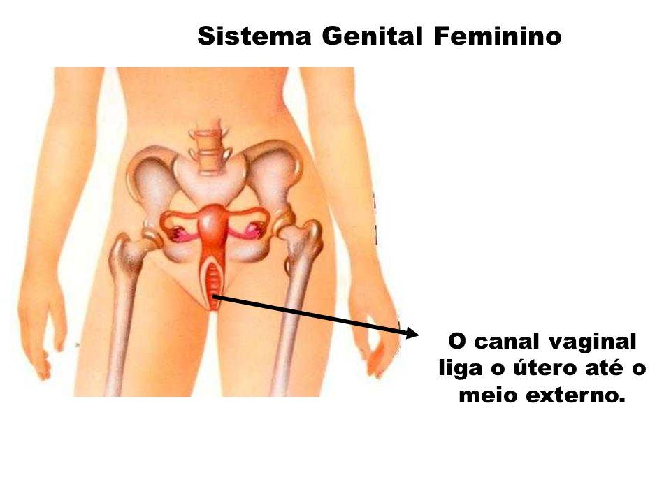 O canal vaginal liga o útero até o meio externo.