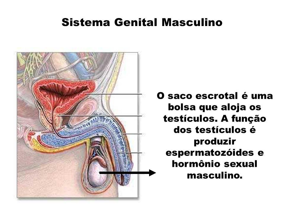 Sistema Genital Masculino O saco escrotal é uma bolsa que aloja os testículos. A função dos testículos é produzir espermatozóides e hormônio sexual ma