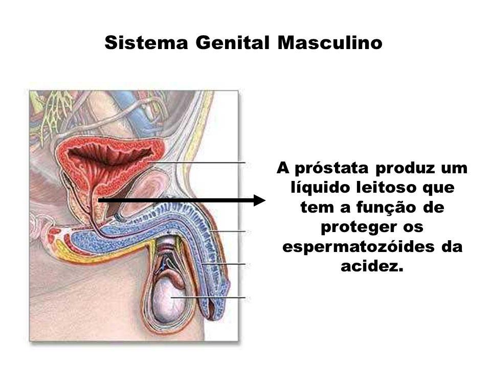 A próstata produz um líquido leitoso que tem a função de proteger os espermatozóides da acidez.