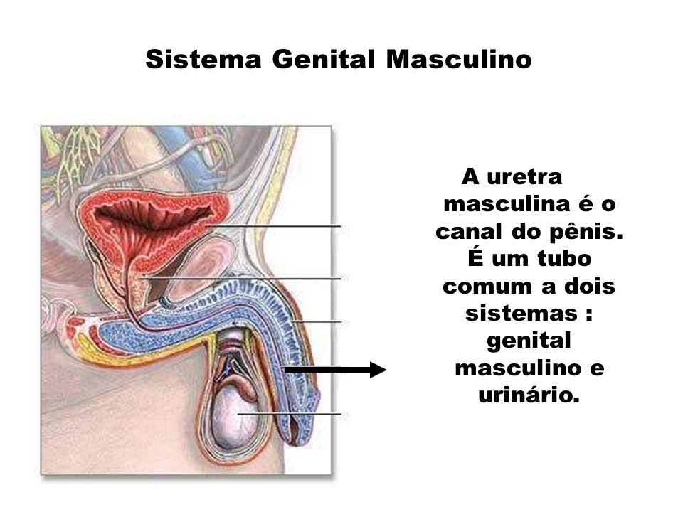 A uretra masculina é o canal do pênis. É um tubo comum a dois sistemas : genital masculino e urinário.