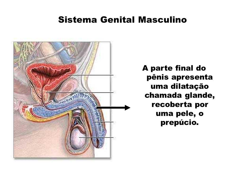 A parte final do pênis apresenta uma dilatação chamada glande, recoberta por uma pele, o prepúcio.
