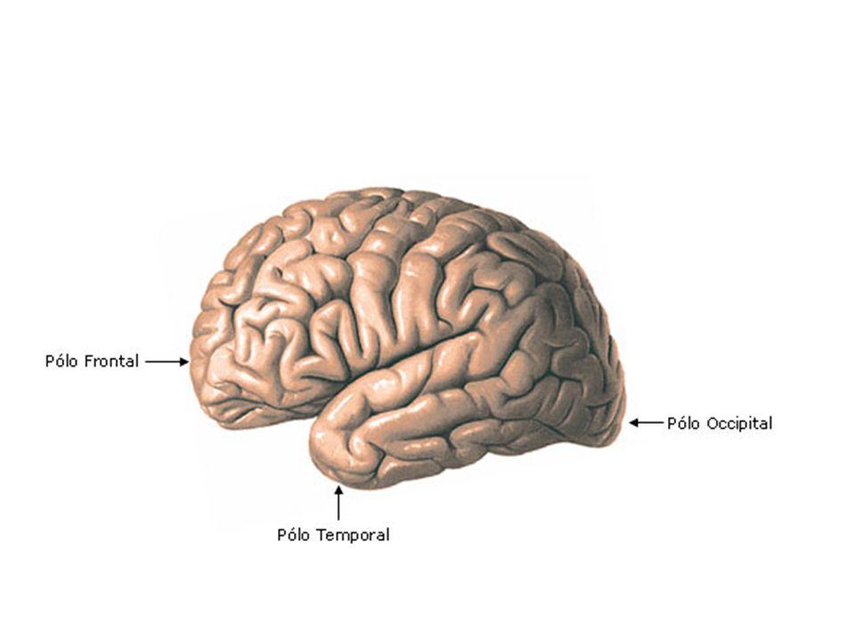 Lobos frontal, temporal, parietal, occipital e da ínsula