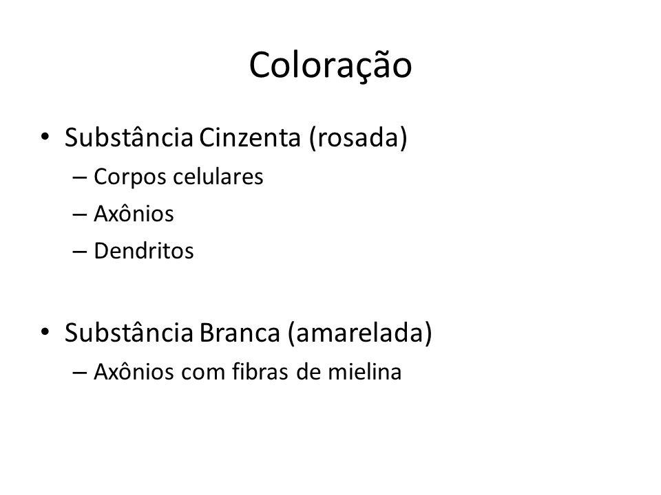 Coloração Substância Cinzenta (rosada) – Corpos celulares – Axônios – Dendritos Substância Branca (amarelada) – Axônios com fibras de mielina
