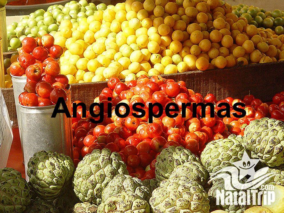 Quais são as principais características das gimnospermas? São plantas fanerógamas, ou seja, produzem flor e semente, duas estruturas que aparecem pela