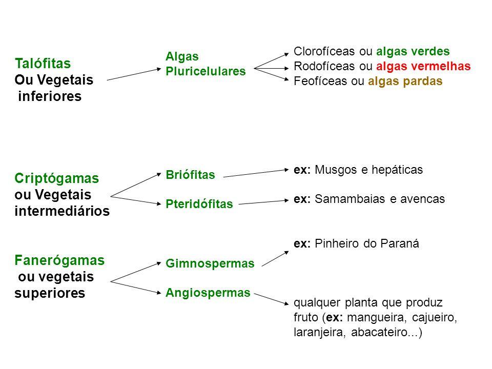Talófitas Ou Vegetais inferiores Criptógamas ou Vegetais intermediários Fanerógamas ou vegetais superiores Algas Pluricelulares Briófitas Pteridófitas Gimnospermas Angiospermas Clorofíceas ou algas verdes Rodofíceas ou algas vermelhas Feofíceas ou algas pardas ex: Musgos e hepáticas ex: Samambaias e avencas ex: Pinheiro do Paraná qualquer planta que produz fruto (ex: mangueira, cajueiro, laranjeira, abacateiro...)