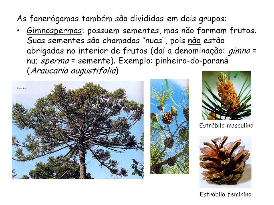As faner ó gamas tamb é m são divididas em dois grupos: Gimnospermas: possuem sementes, mas não formam frutos.
