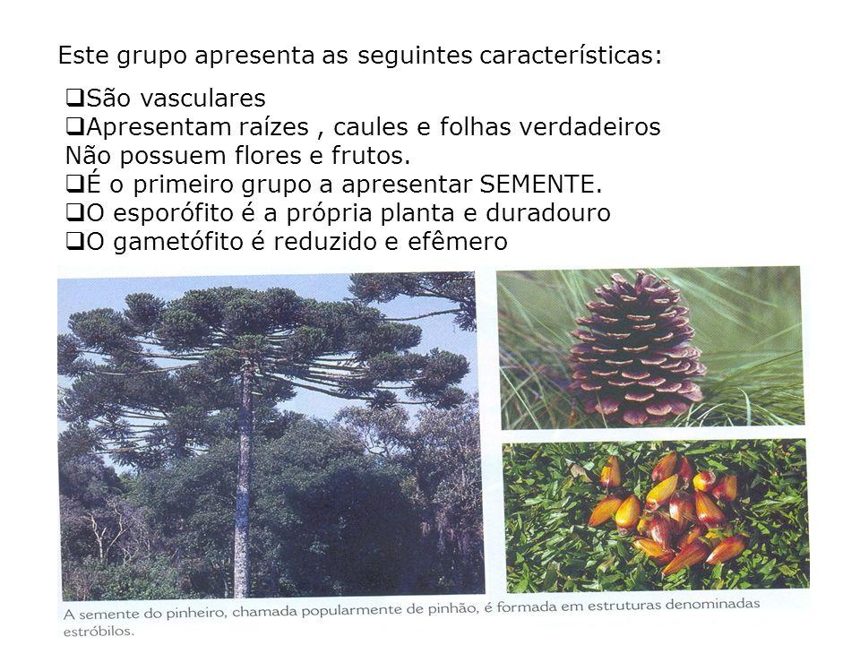As faner ó gamas tamb é m são divididas em dois grupos: Gimnospermas: possuem sementes, mas não formam frutos. Suas sementes são chamadas nuas, pois n