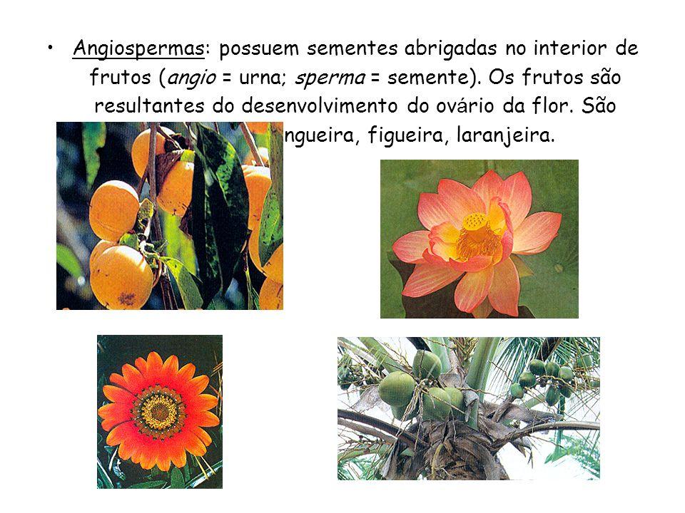 Este grupo apresenta as seguintes características: São vasculares Apresentam raízes, caules e folhas verdadeiros Não possuem flores e frutos. É o prim