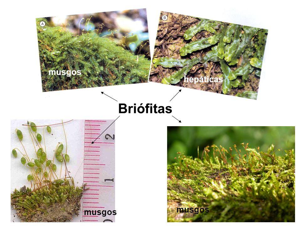 Quais são as principais diferenças entre as briófitas e as pteridófitas?