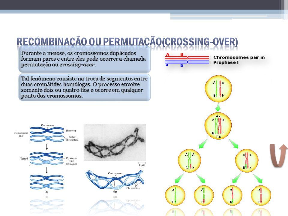 Durante a meiose, os cromossomos duplicados formam pares e entre eles pode ocorrer a chamada permutação ou crossing-over. Tal fenômeno consiste na tro