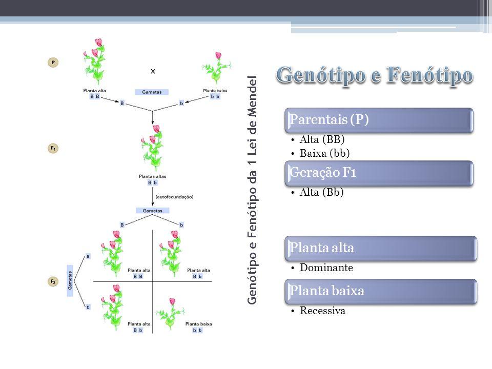 Parentais (P) Alta (BB) Baixa (bb) Geração F1 Alta (Bb) Planta alta Dominante Planta baixa Recessiva Genótipo e Fenótipo da 1 Lei de Mendel
