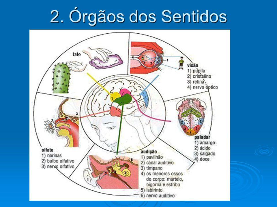 2. Órgãos dos Sentidos
