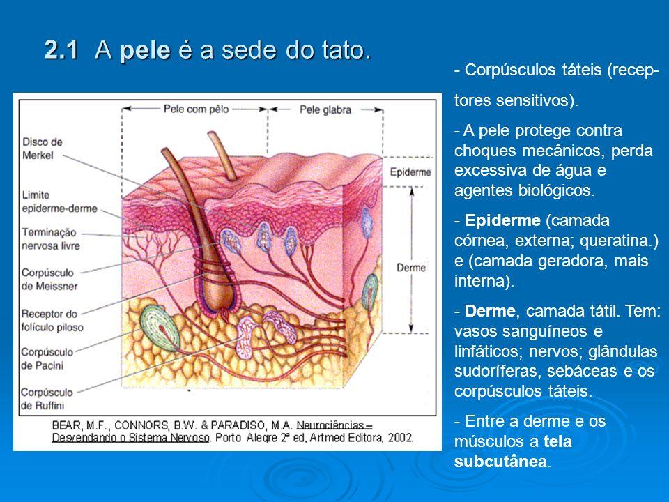 2.1 A pele é a sede do tato.- Corpúsculos táteis (recep- tores sensitivos).