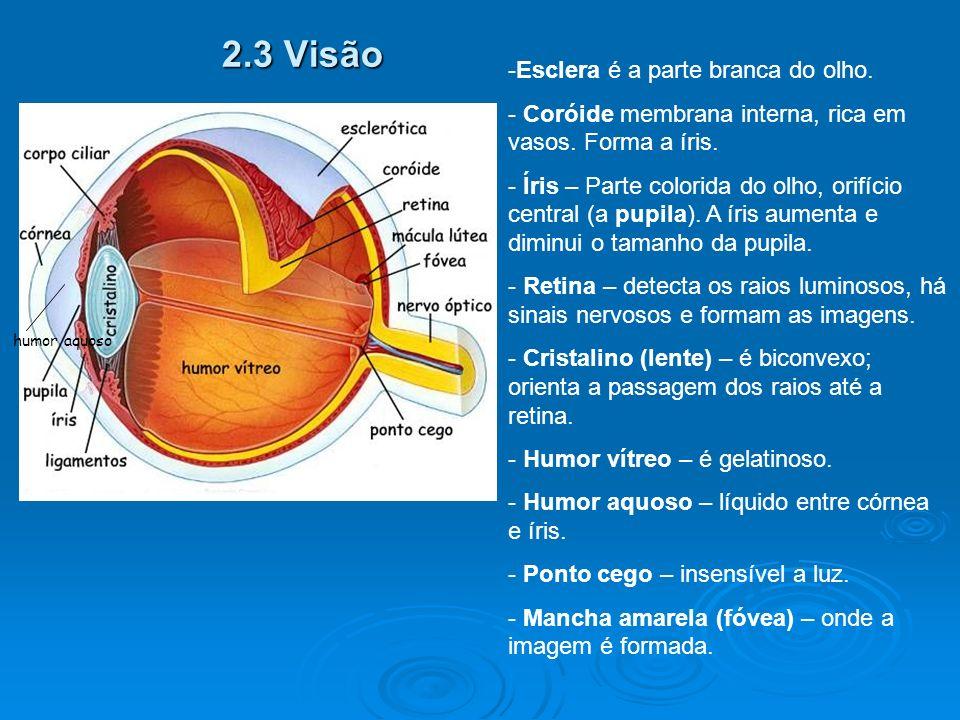 2.3 Visão -Esclera é a parte branca do olho.- Coróide membrana interna, rica em vasos.