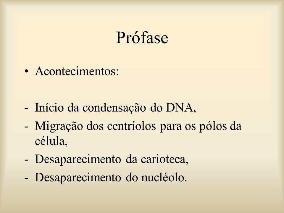 Prófase Acontecimentos: -Início da condensação do DNA, -Migração dos centríolos para os pólos da célula, -Desaparecimento da carioteca, -Desaparecimen