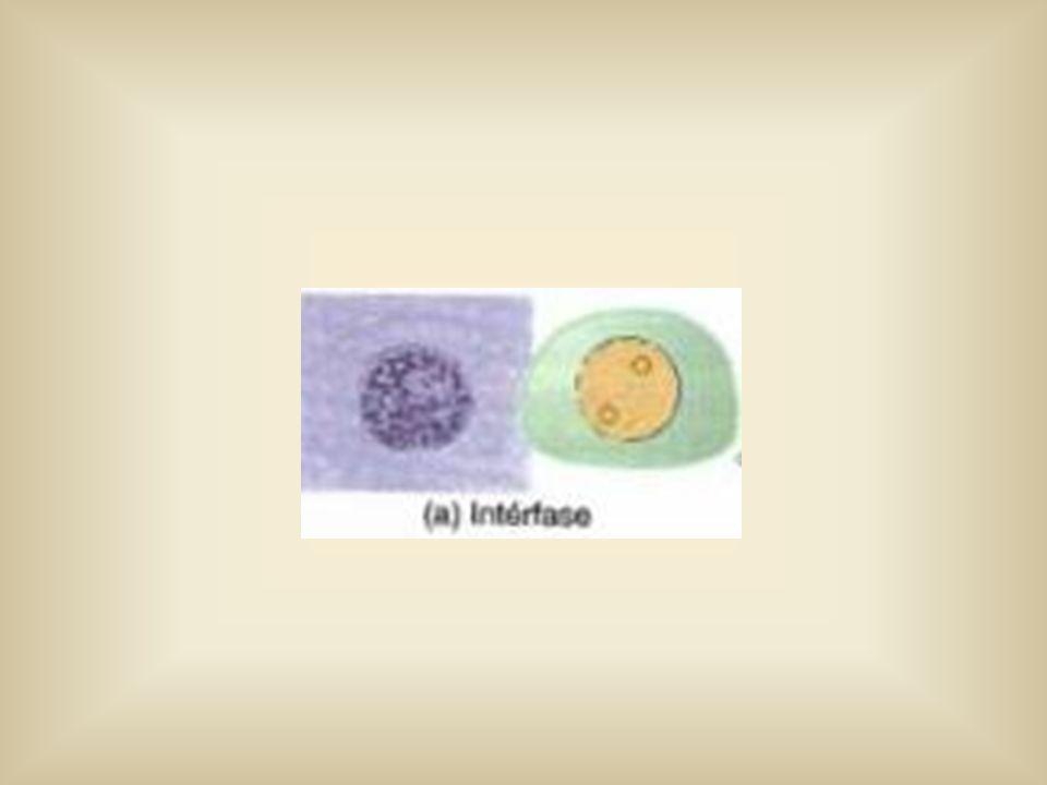 Telófase 1 Descondensação dos cromossomos Reaparecimento do nucléolo e carioteca Desaparecimento das fibras do fuso