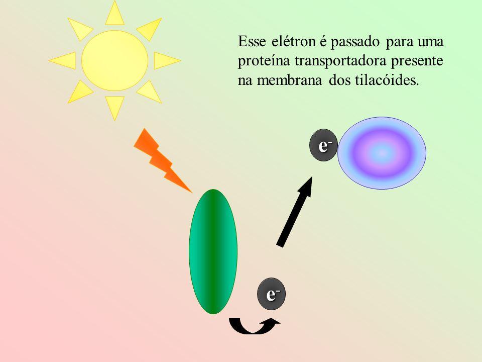 e-e-e-e- e-e-e-e- Esse elétron é passado para uma proteína transportadora presente na membrana dos tilacóides.