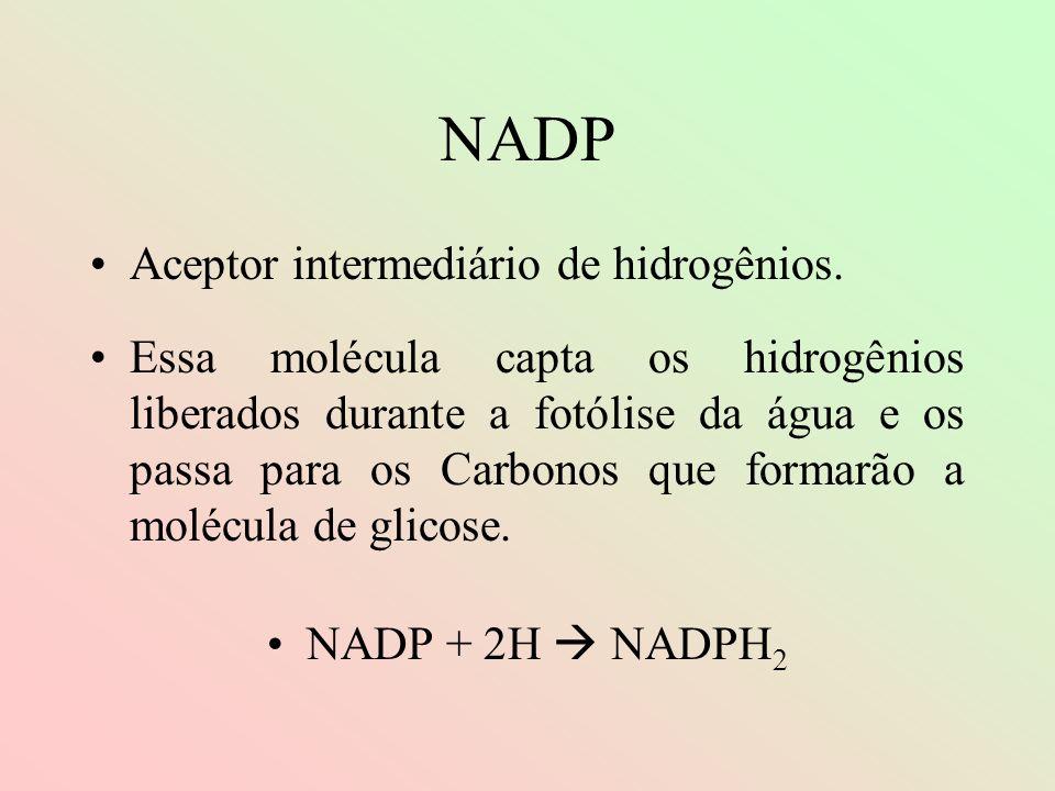 NADP Aceptor intermediário de hidrogênios. Essa molécula capta os hidrogênios liberados durante a fotólise da água e os passa para os Carbonos que for