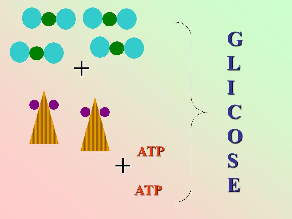 + + ATP ATP GLICOSEGLICOSEGLICOSEGLICOSE