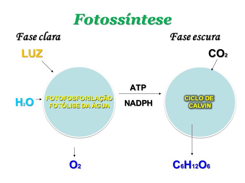 Fotossíntese Fase clara Fase escura LUZ CO 2 LUZ CO 2 ATP ATP H 2 O NADPH O 2 C 6 H 12 O 6 O 2 C 6 H 12 O 6 FOTOFOSFORILAÇÃO FOTÓLISE DA ÁGUA FOTOFOSF