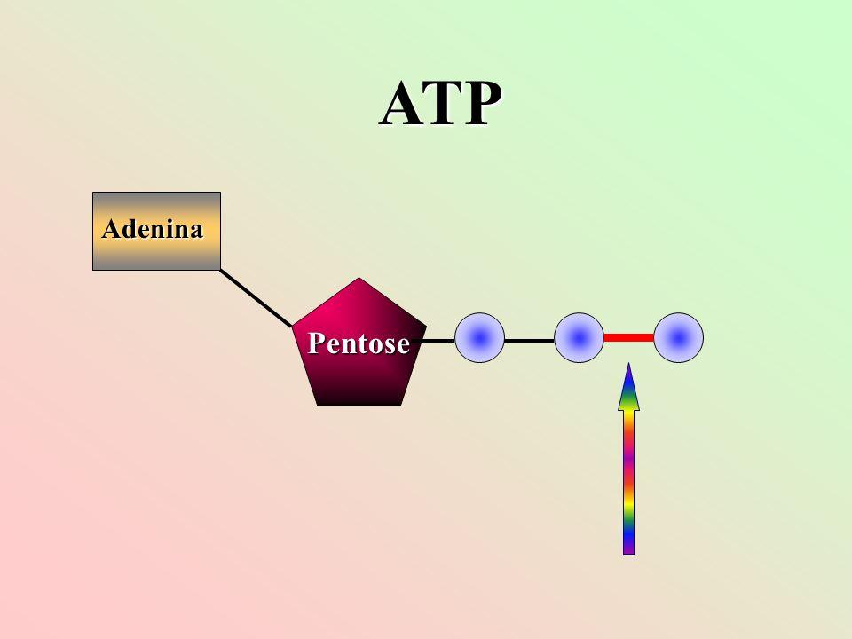 Adenina Pentose ATP