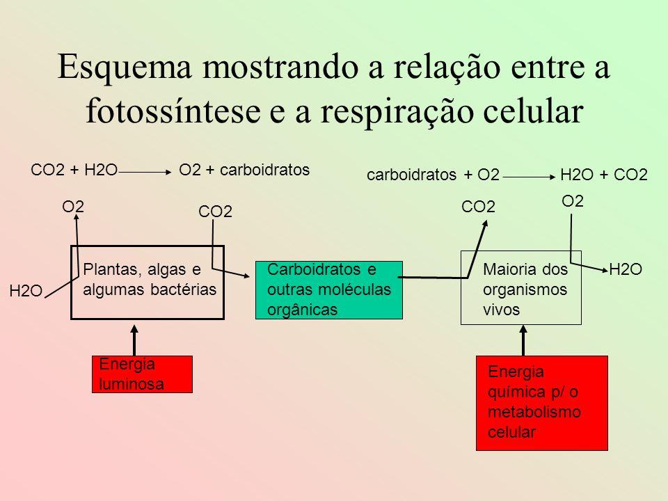 Esquema mostrando a relação entre a fotossíntese e a respiração celular O2 H2O O2 CO2 Plantas, algas e algumas bactérias Energia luminosa Carboidratos