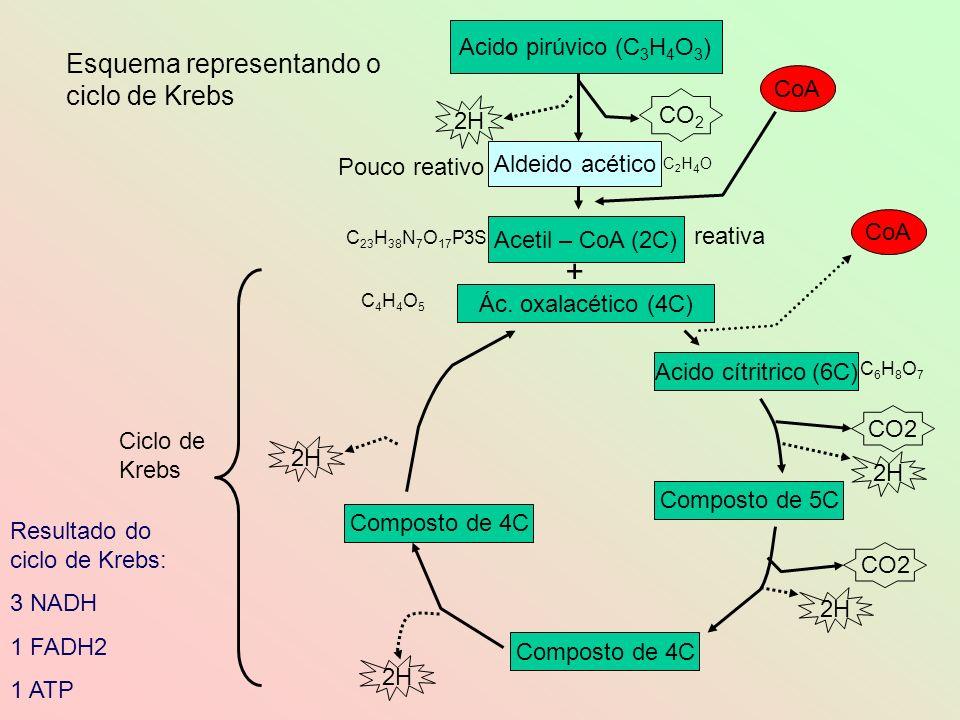 Esquema representando o ciclo de Krebs Resultado do ciclo de Krebs: 3 NADH 1 FADH2 1 ATP Acido pirúvico (C 3 H 4 O 3 ) Acetil – CoA (2C) CO 2 Acido cí
