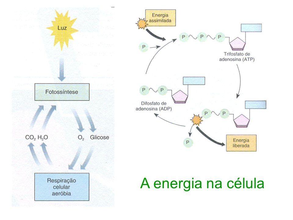 Fotossíntese Montagem da glicose (armazena energia) a partir da LUZ, CO 2, H 2 O, liberando O 2.
