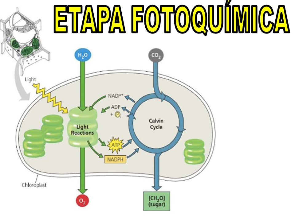 e-e-e-e- A luz solar incide na molécula de clorofila.