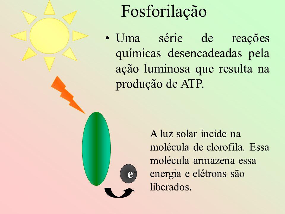 e-e-e-e- A luz solar incide na molécula de clorofila. Essa molécula armazena essa energia e elétrons são liberados. Fosforilação Uma série de reações