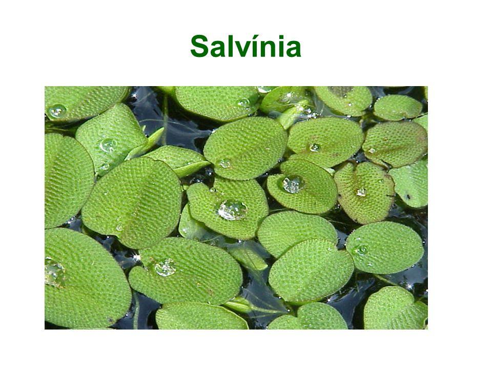 Salvínia