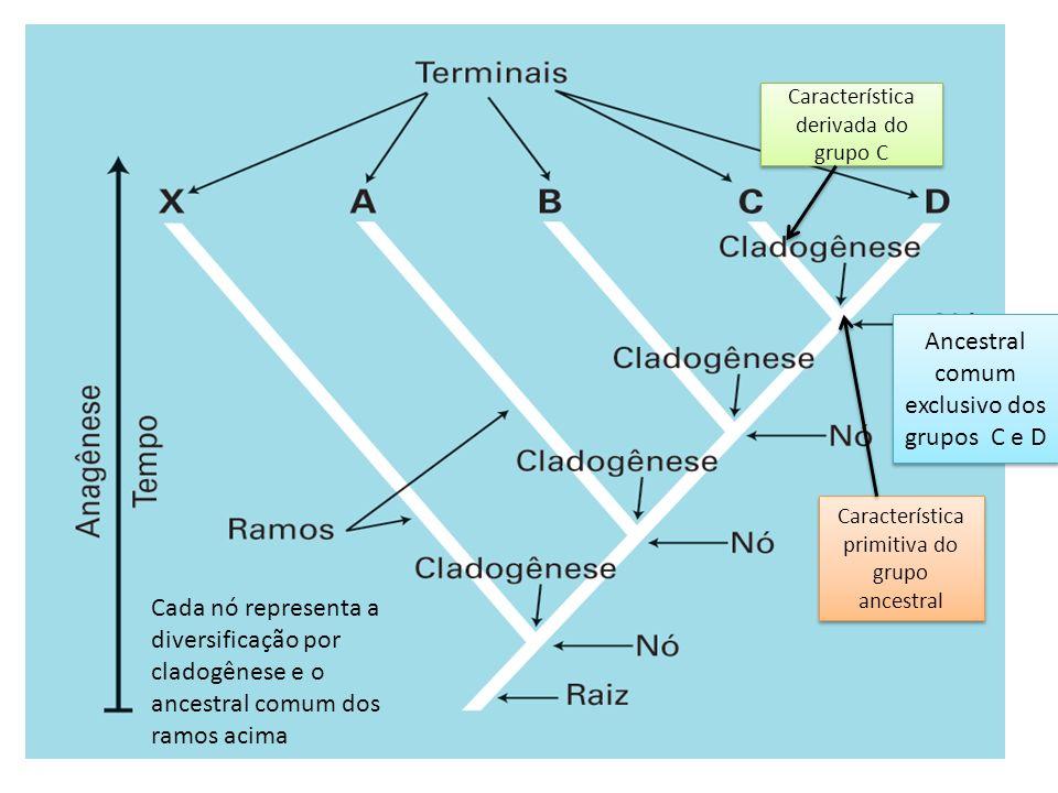 Ancestral comum exclusivo dos grupos C e D Característica primitiva do grupo ancestral Característica derivada do grupo C Cada nó representa a diversi