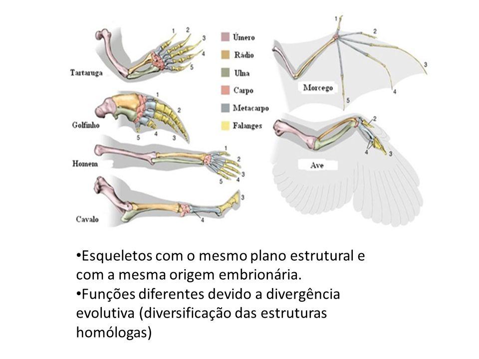 Esqueletos com o mesmo plano estrutural e com a mesma origem embrionária. Funções diferentes devido a divergência evolutiva (diversificação das estrut