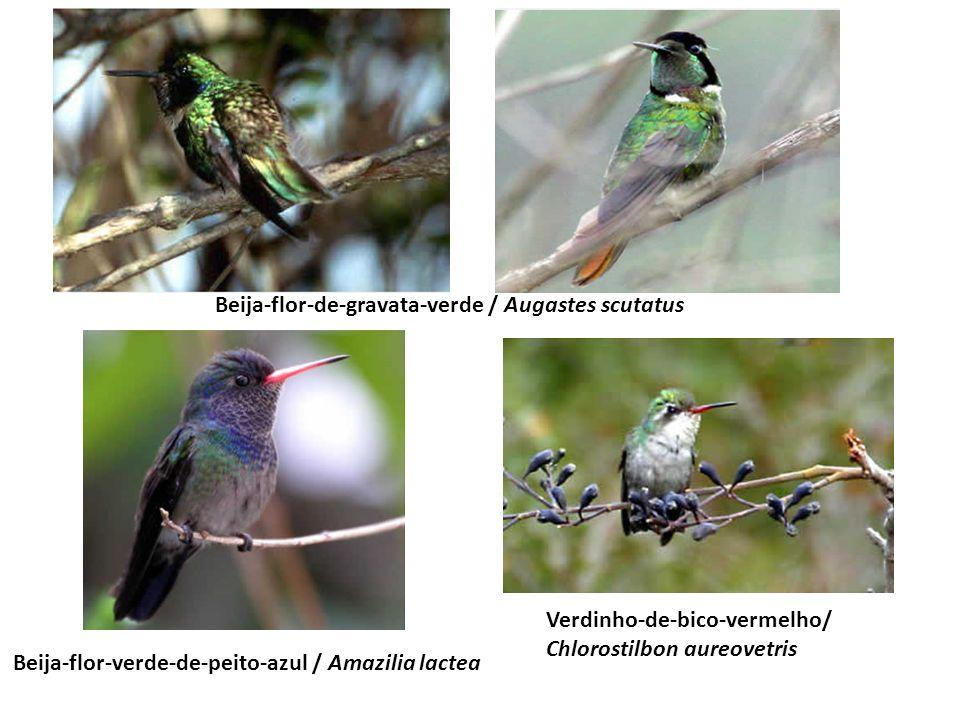 Beija-flor-de-gravata-verde / Augastes scutatus Beija-flor-verde-de-peito-azul / Amazilia lactea Verdinho-de-bico-vermelho/ Chlorostilbon aureovetris