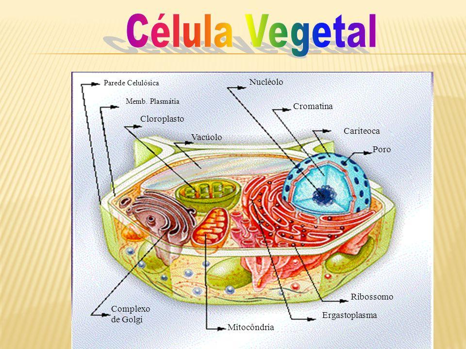 Parede Celulósica Memb. Plasmátia Nucléolo Cromatina Cariteoca Poro Complexo de Golgi Mitocôndria Ergastoplasma Ribossomo Cloroplasto Vacúolo