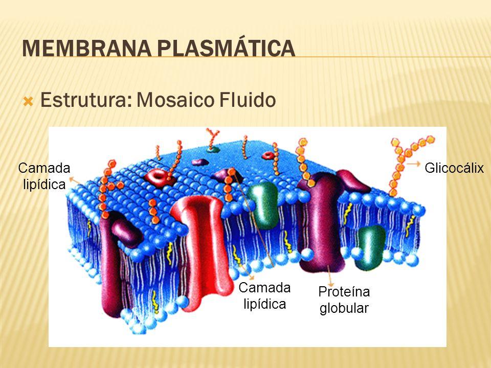 MEMBRANA PLASMÁTICA Estrutura: Mosaico Fluido Glicocálix Proteína globular Camada lipídica