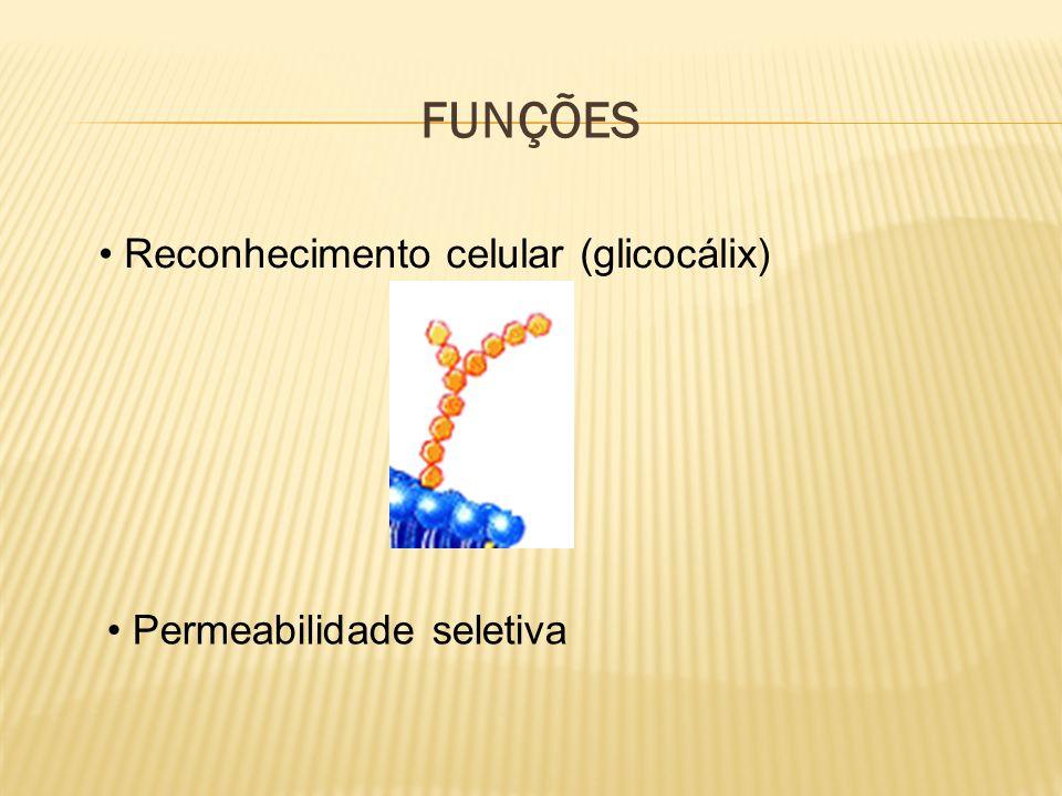 FUNÇÕES Reconhecimento celular (glicocálix) Permeabilidade seletiva
